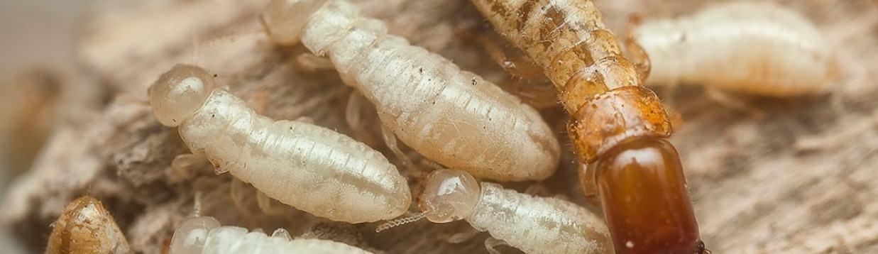 termitas tratamiento